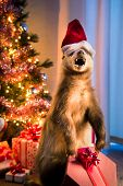 stock photo of badger  - Badger with Santa - JPG