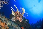 Lionfish underwater on coral reef