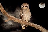 A giant eagle-owl (Bubo lacteus) perched on a branch during the night with a full moon