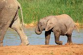 A baby African elephant (Loxodonta africana) at a waterhole, Addo Elephant National Park, South Africa
