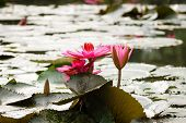 stock photo of lilly  - Red lilly water flower at Suoi Yen - JPG