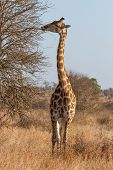 Giraffe Browsing At Kruger National Park, South Africa