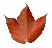 Isolated Orange Leaf