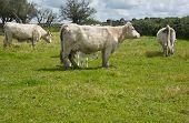 Charolais Cows