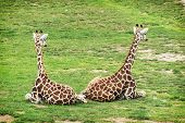 Two Rothschild Giraffes