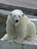 The head of a polar bear female lovely mother looking straight into the camera.