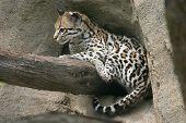 picture of ocelot  - An ocelot that is perched on a branch - JPG