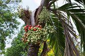 Betel Palm Fruit
