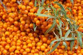 stock photo of sea-buckthorn  - orange  sea - JPG