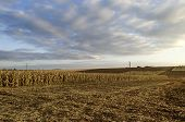 Autumnal view of maize field