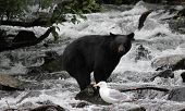 stock photo of wolverine  - Black Bear balancing on rock at Wolverine Creek Alaska - JPG