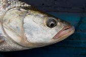 Asp fish's head close-up