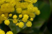 picture of mimosa  - wonderful yellow mimosa flowers from the tree - JPG