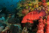 stock photo of grouper  - Grouper fish - JPG