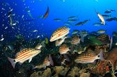 picture of red snapper  - Feeding frenzy as Chequered Snapper fish hunt - JPG