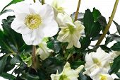 pic of helleborus  - hellebore in pot on a white background - JPG