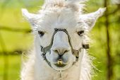 image of lamas  - Portrait of a lama on farm - JPG