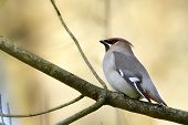 image of bohemian  - bohemian waxwing perched on a branch in Vosges - JPG