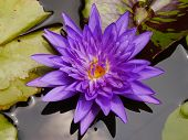pic of species  - The Blue Lotus species of beautiful flower  in Thailand - JPG