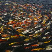 stock photo of koi fish  - beautiful koi fish swimming in the pond Colorful Koi - JPG