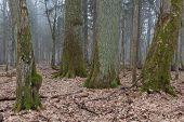 image of linden-tree  - Group of very old decidous trees side by side in springtime deciduous stand of Bialowieza Forest - JPG
