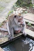 image of macaque  - Long - JPG