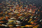 pic of koi fish  - beautiful koi fish swimming in the pond Colorful Koi - JPG