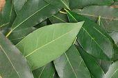 picture of bay leaf  - Bay leaves - JPG