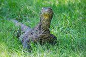 picture of komodo dragon  - Adult Komodo dragon standing in the grass Rinca Indonesia  - JPG