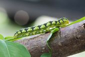 stock photo of green caterpillar  - This caterpillar is beautiful and rare in brazilian savannah - JPG