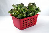 Red leaf lettuce in a basket