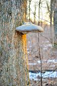 stock photo of coexist  - Tinder fungus on the trunk of a tree
