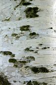 picture of birching  - photo of some birch bark on an old birch tree - JPG