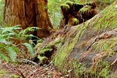 foto of redwood forest  - Moss covers a fallen redwood tree rotting in a California forest - JPG