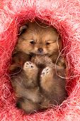 stock photo of pomeranian  - Little Pomeranian puppy in pink decorative nest