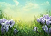 foto of meadows  - Spring background. Springtime with crocus flowers. Crocus flowers in meadow. Nature background. ** Note: Shallow depth of field - JPG