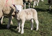 stock photo of spring lambs  - Spring lamb and mother in a field near Holmfirth West Yorkshire - JPG