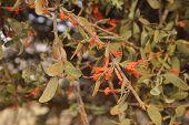 picture of parasite  - Loranthus Acaciae - JPG