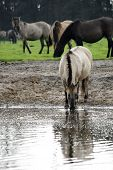 picture of horse-breeding  - A herd of horses grazing in a meadow near a watering place - JPG