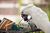 picture of cockatoos  - Playful white Cockatoo at a local plaza in Encinitas California - JPG