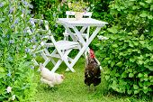 picture of roosters  - Romantic garden with chairs and table in green vegetation - JPG