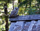 foto of kill  - Female barred owl protecting her kill on the roof of a barn  - JPG