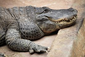 stock photo of alligator  - American alligator  - JPG