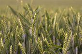 Green Gold Wheat