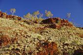 Gum Trees In Australian Outback