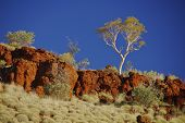 Gum Trees In Australian Outback