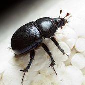 Crawling Dung-beetle - closeup