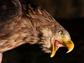 stock photo of pecker  - Attacking Golden Eagle - JPG