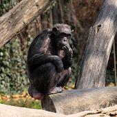 A photo of a chimpanzee in Zoo Pilsen - Czech Republic - Europe