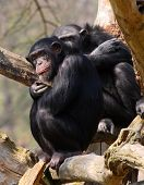 Two adult chimpanzees in Zoo Pilsen - Czech Republic - Europe